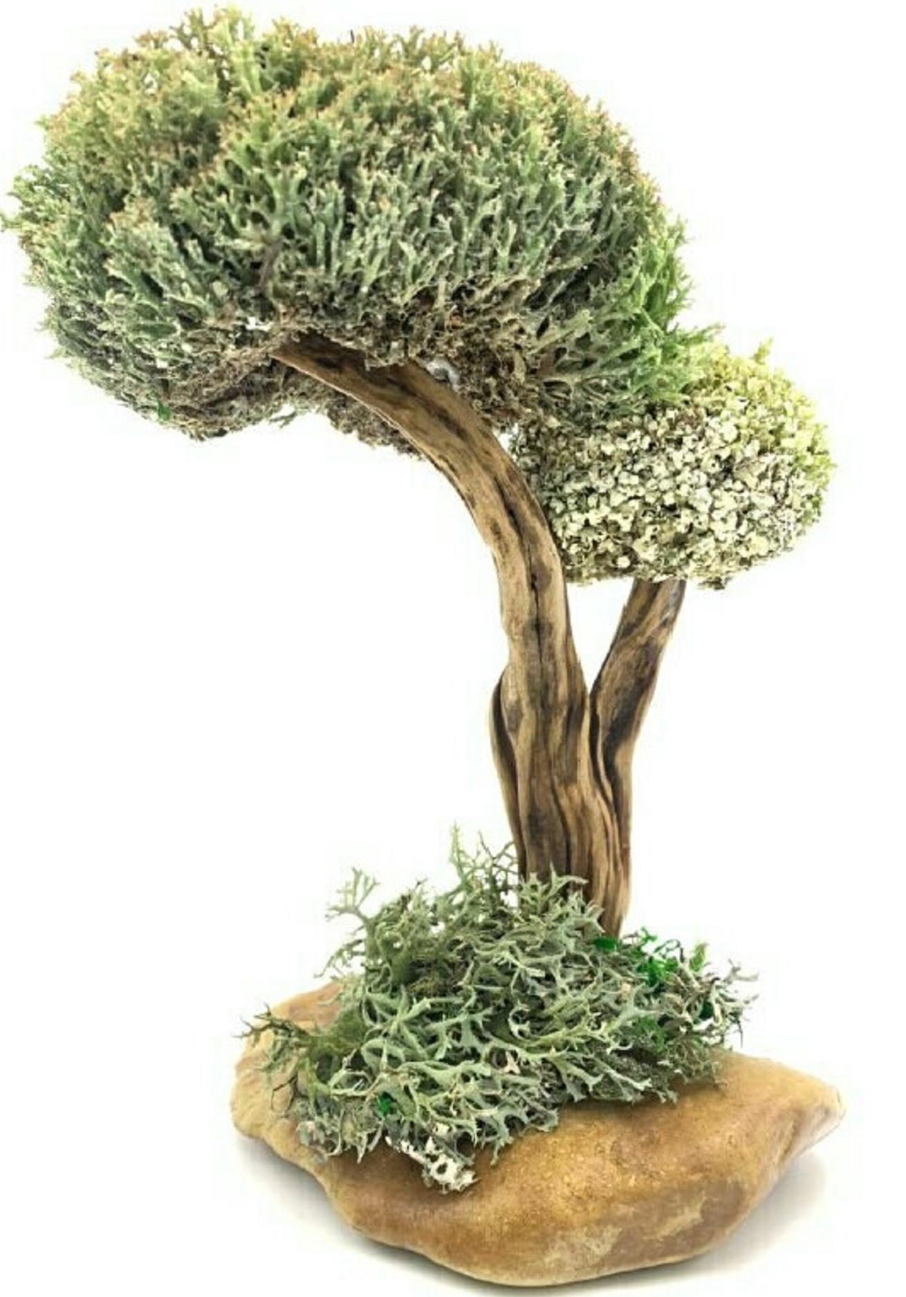 Дерево из цетрарии и пармелии, 25 см