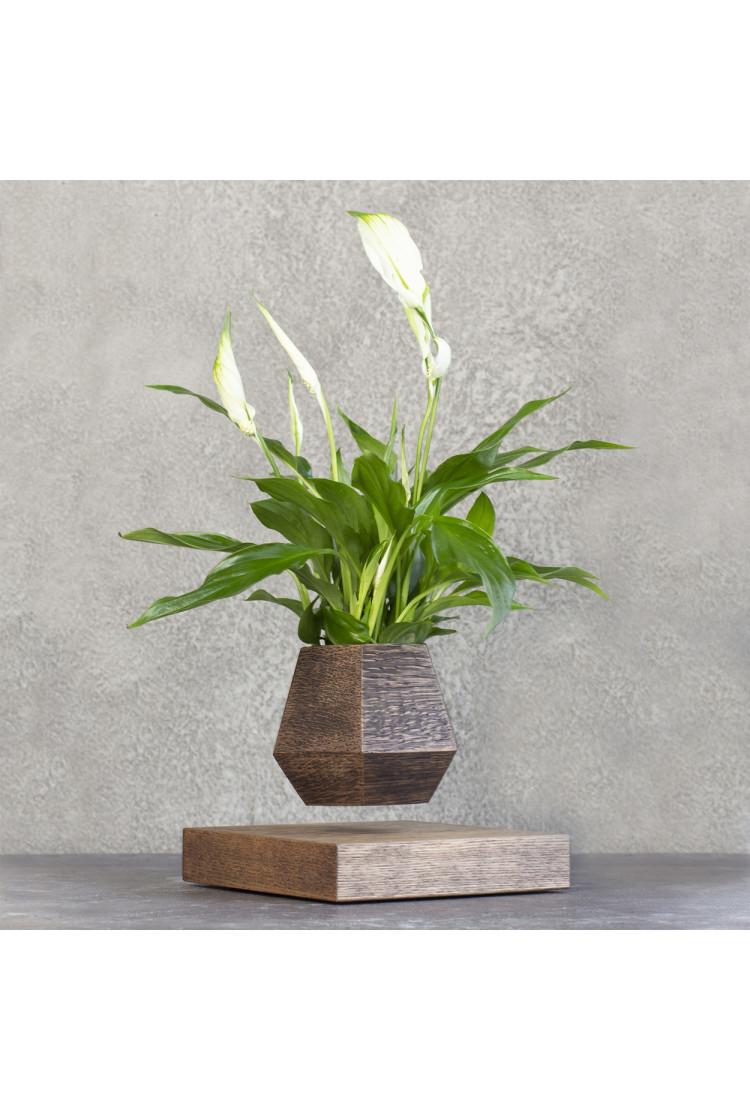 Левитирующее растение Спатифиллум (венге)