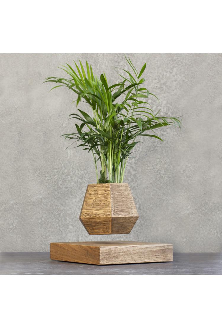 Левитирующее растение Хамедорея (темный)