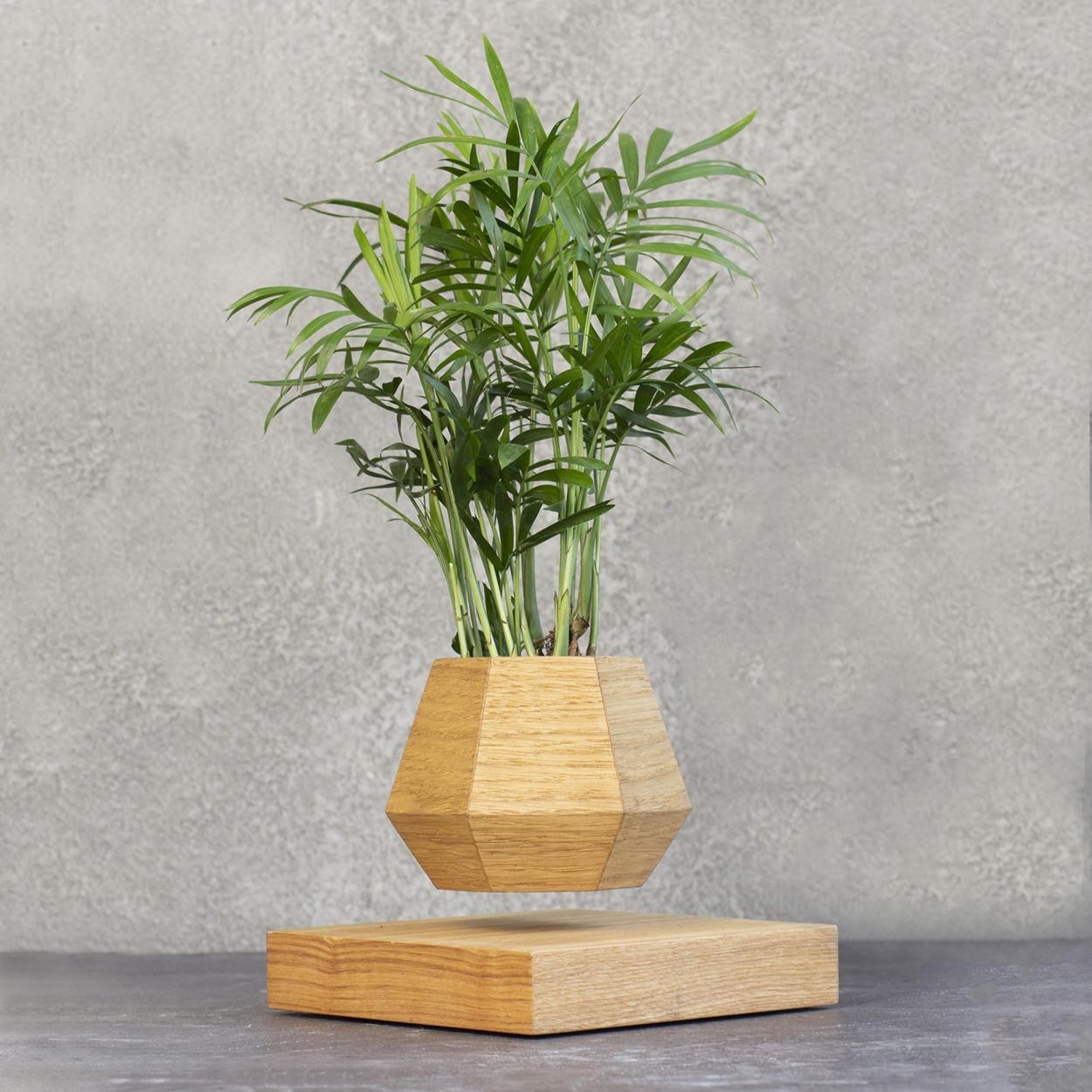 Левитирующее растение Хамедорея (светлый)