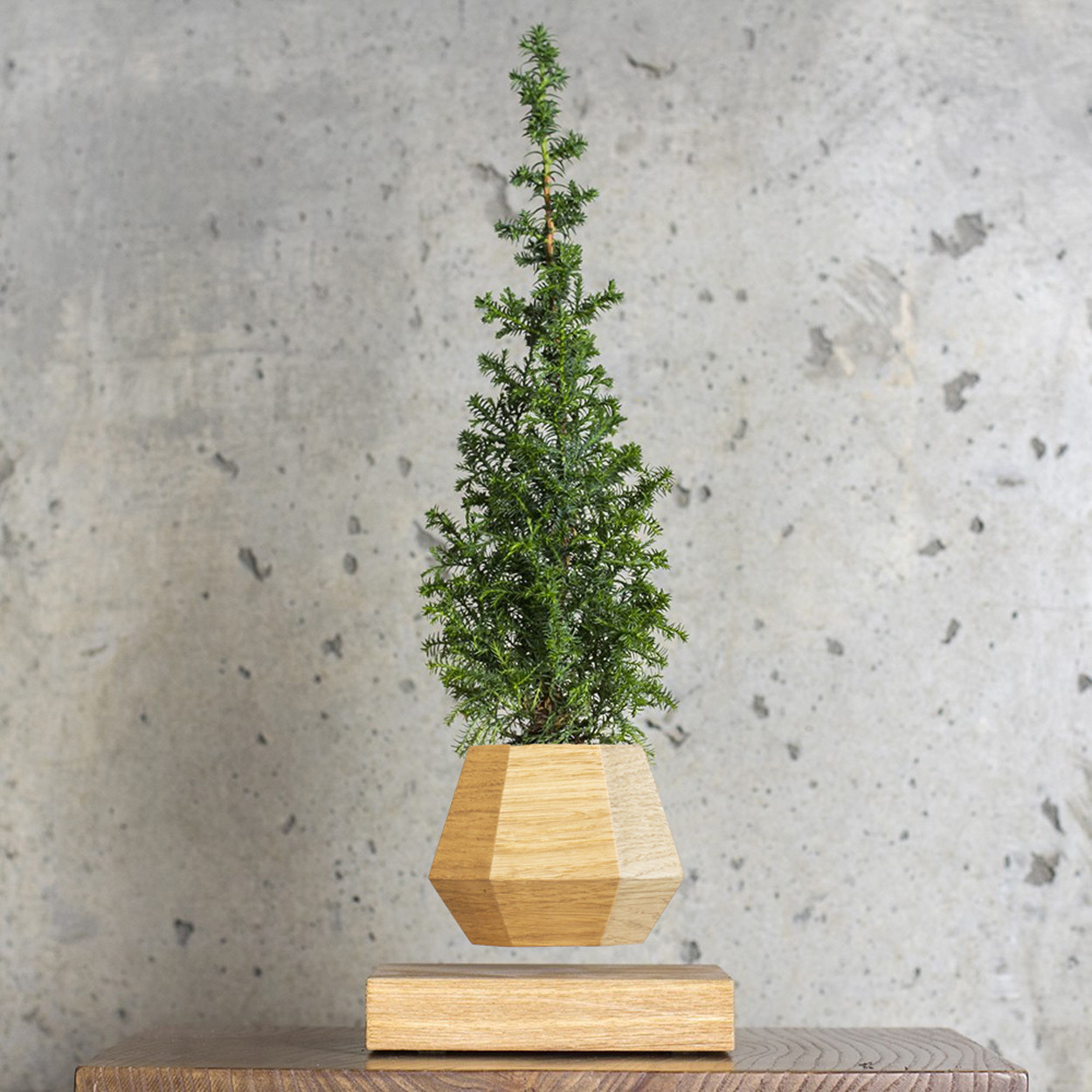 Левитирующее растение Ель (светлый)