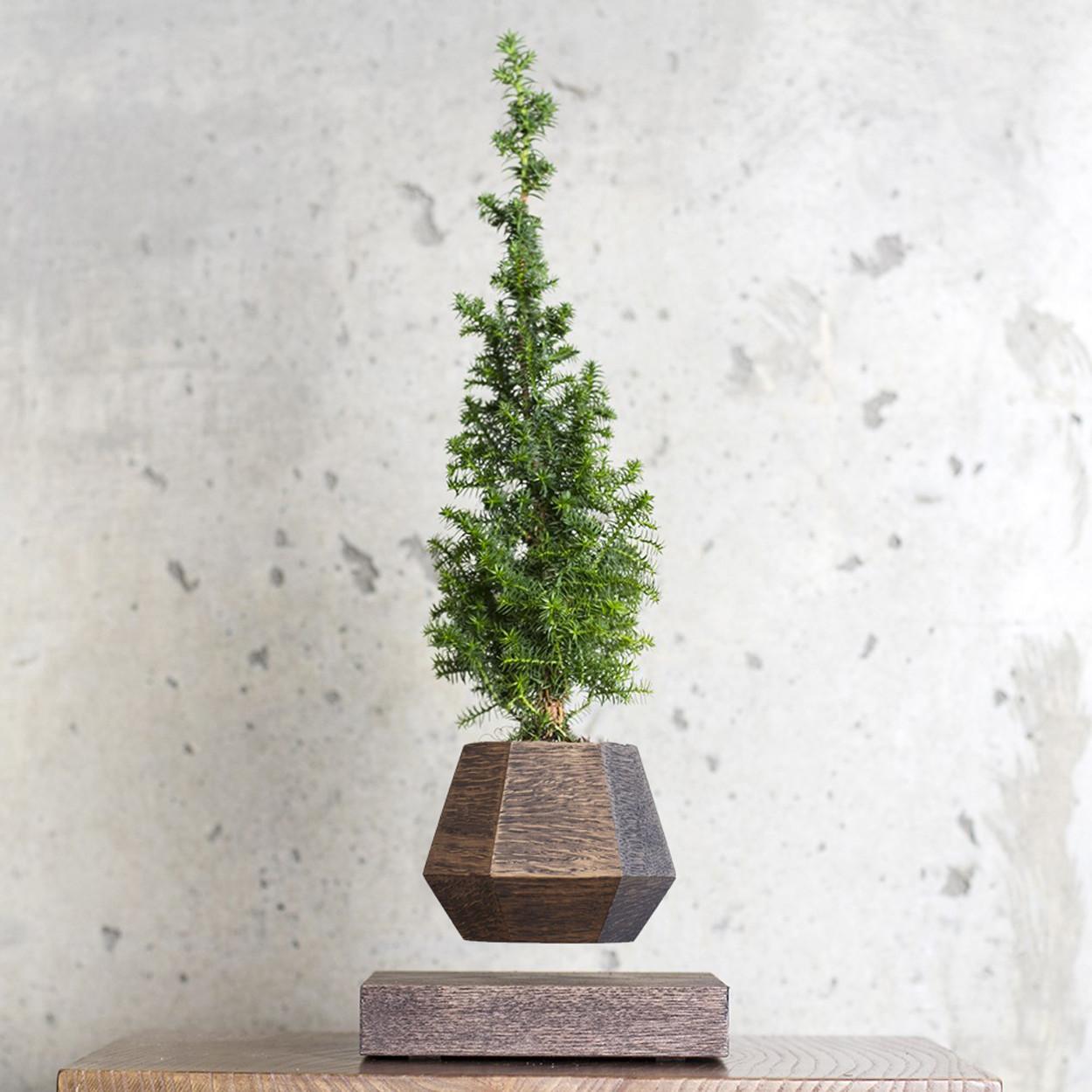 Левитирующее растение Ель (венге)