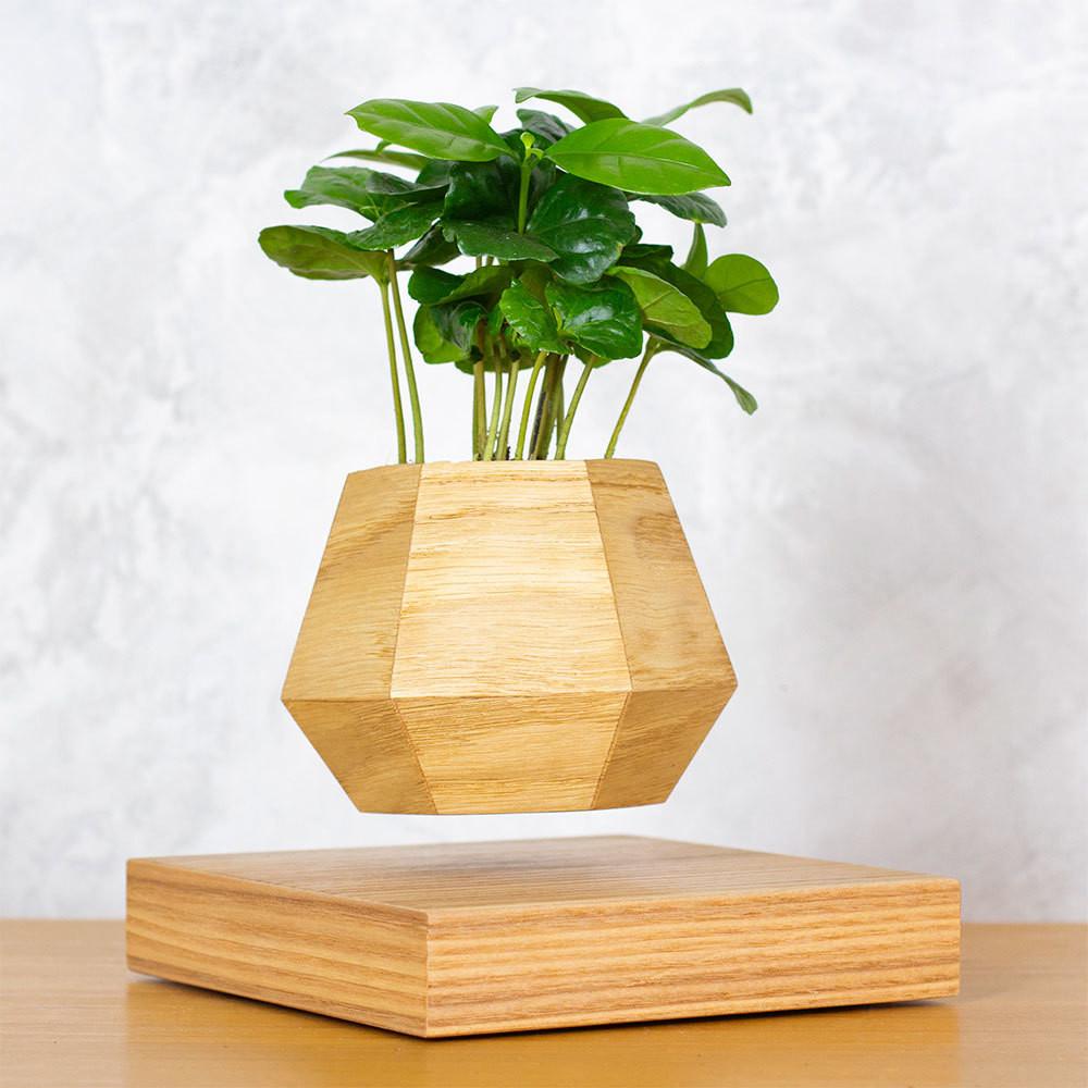 Левитирующее растение Кофе арабика (светлый)